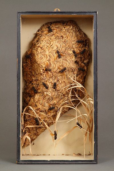 Victorian Diorama Displaying a Specimen of a European Hornets Nest