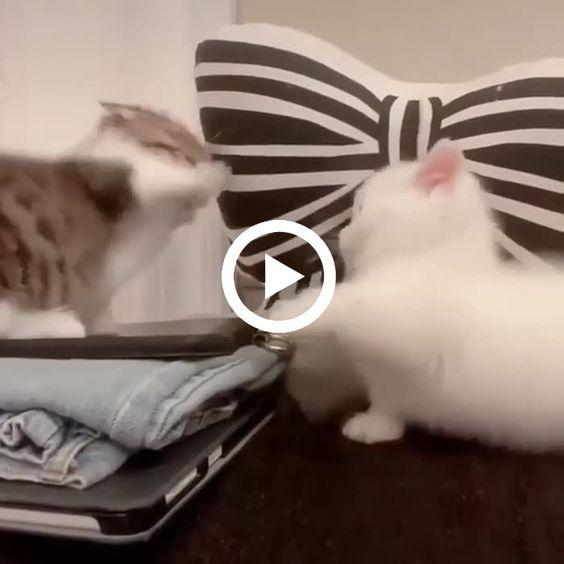 Gatinho vs gatinho, a luta mais fofa do século