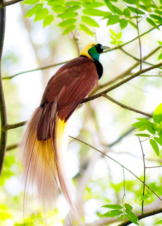 greater birds of paradise perched on a branch