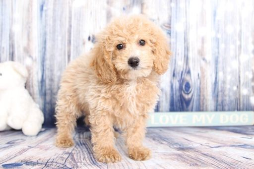 Poochon Puppy For Sale In Naples Fl Adn 60342 On Puppyfinder Com