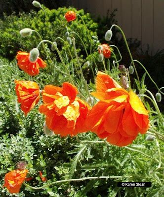 Poppies at Wall Flower Studio