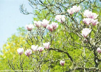 die anmutigen Magnolienblüten spitzen langsam hervor - jedes Frühjahr wieder schön! #Postkarte von #LathoDesign #postcrossing #Papeterie #Nürnberg #Schreibwaren   Der Schreibladen, Schreibwaren & Lotto-Annahmestelle – Google+