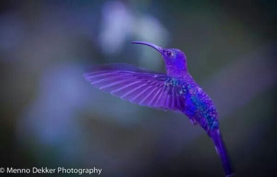 Rare lavender blue humming bird