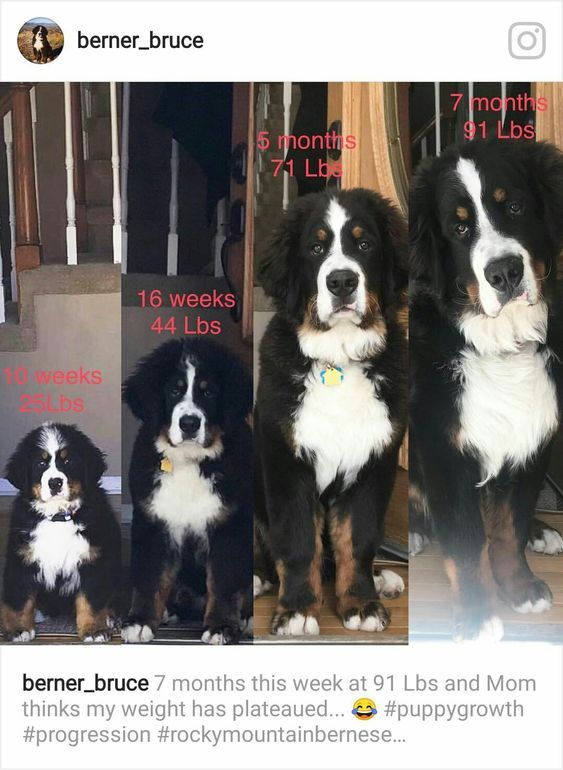 Bernese Mountain Lovers Club Dogs Burmese Mountain Dogs