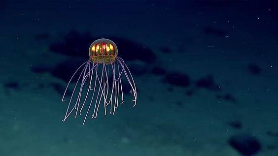 Dimanche 24 avril 2016 lors d'une expédition sous-marine à 3,7 km de profondeur et tout près d'un emplacement baptisé Enigma Seamount dans la fosse des Mariannes, des scientifiques américains ont filmé une sublime méduse au look extraterrestre. Les chercheurs de l'Agence américaine d'observation océanique et atmosphérique (NOAA) qui étaient à bord du bateau Okeanos Explorer, estiment qu'il s'agit d'une nouvelle espèce hydromedusa appartenant au genre Crossota. Pour information, la fosse des…