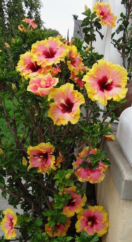 Hibiscus Flower Botanical Name Hibiscus Hibiscus Plant Hardy Hibiscus Hibiscus Flowers