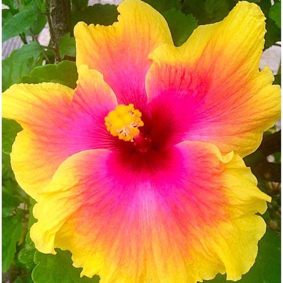 Tulipán sencillo #flor #naturaleza #plantas