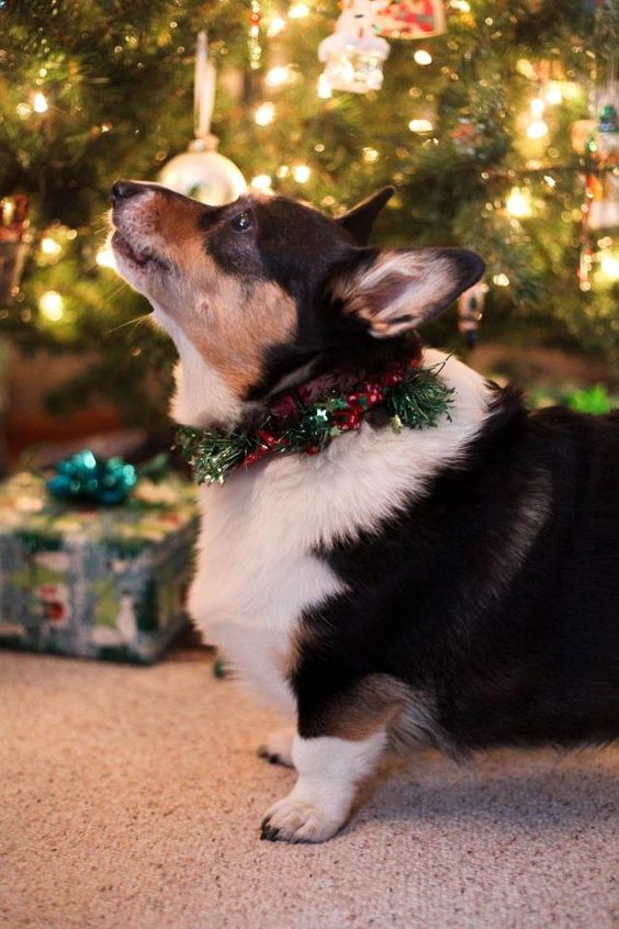 """Our 10 yo. Pembroke Welsh Corgi, Tia, just joined Petplan and her coverage started yesterday. Thank you for offering such a great service and a friendly and helpful website. Tia says ""Arooo"" to everyone!"" - Tony"