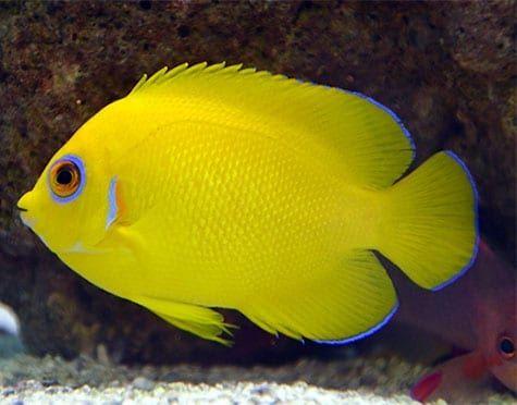 Lemonpeel Angelfish Angel Fish Lion Fish Fish Pet