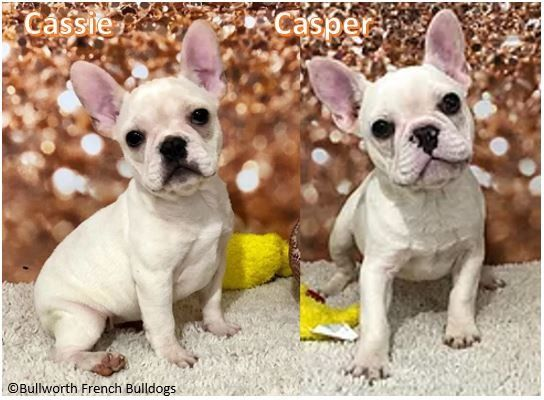 Pin On French Bulldog Puppies
