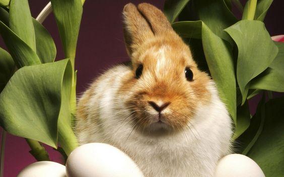 Le pâques des lapins