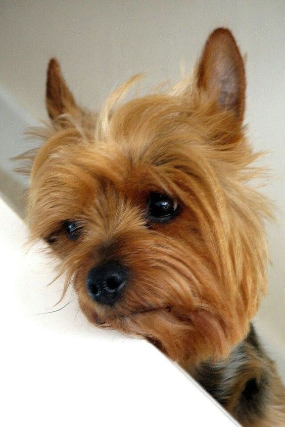 This Yorkie hopes you're feeling better soon