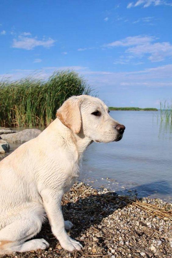 Labrador Retriever If You Love Labradors Visit Our Blog Labrador Labradorretriever Labradorcentral Retrievers Credi