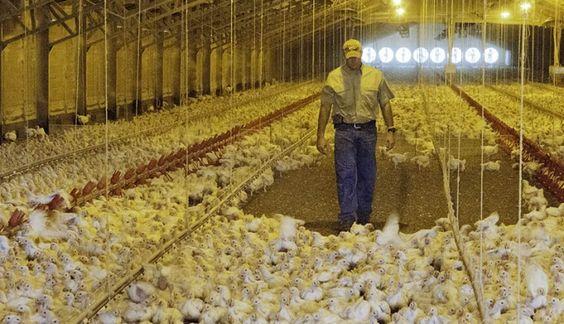 TRABALHADORES DE AVIÁRIOS OBRIGADOS A USAR FRALDAS POR NÃO FAZEREM PAUSAS Trabalhadores de aviários obrigados a usar fraldas por não fazerem pausas - ZAP