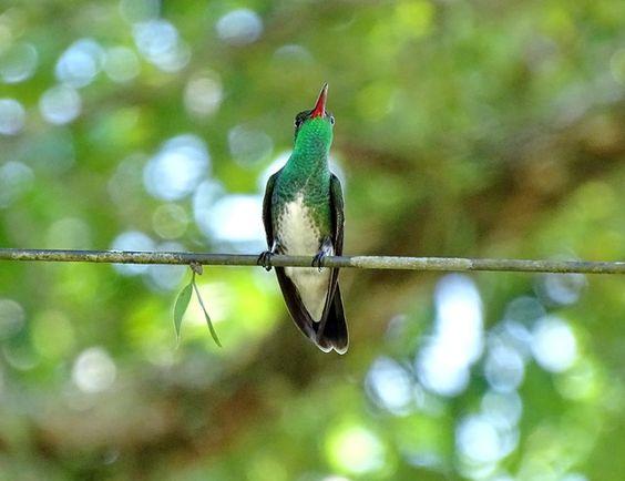 Beija-flor-de-garganta-verde (Amazilia fimbriata) por Ramón Dueñas Nuñez | Wiki Aves - A Enciclopédia das Aves do Brasil