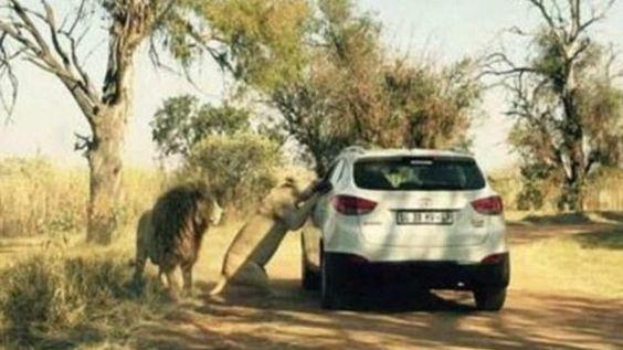 Revelan foto de leona que asesinó a editora de 'Game of Thrones' | Mundo | Noticieros Televisa