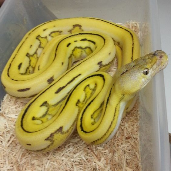 'Super tiger Citron' reticulated python, Prehistoric Pets ...