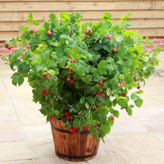 Plantas frutales para macetas: Frambuesas