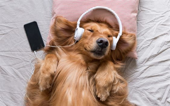 Download wallpapers Golden retriever, dog listening to music, pets, labrador retrievers, brown dog, headphones, funny animals, dogs