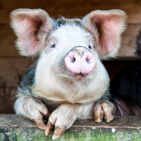 Happy Pig by Tony Sale on 500px:
