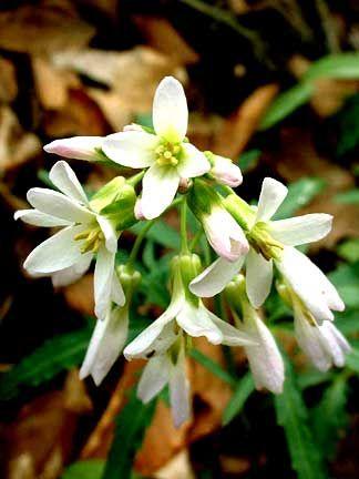 Cardamine concatenata (Cut-leaved toothwort) (Dentaria laciniata)