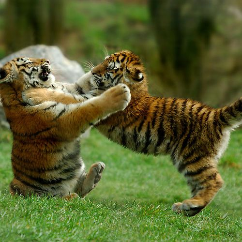 cutest tiger cubs playing rough ;) (via edie1@imgfave ...