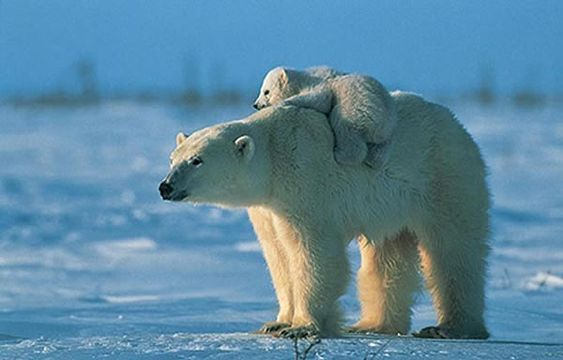 Comment dessiner un ours polaire tutoriel - Comment dessiner un ours ...