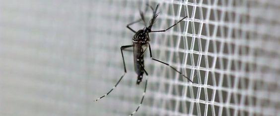 Het experiment met GMO-muggen faalde verpletterend en maakte alles erger