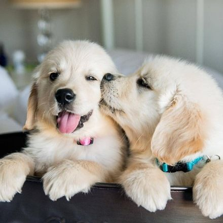 Puppy Kisses Are The Best Kisses Cutenessoverload Wwgoodlife Cute Dogs Puppies Dogs Golden Retriever