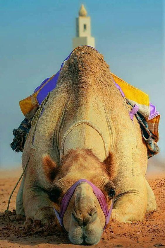 Dromedary Camel. Beautiful: