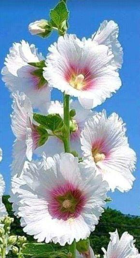 Hollyhocks—Alcea rosea. 🚀