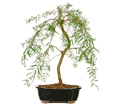 the japanese weeping willow bonsai tree is a trending home dcor and gift idea across the add bonsai office interior