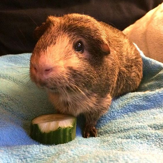 My dining companion on the sofa this evening. I ate a little more than he did. #iphonepic #rolfisalwayshungry #guineapig