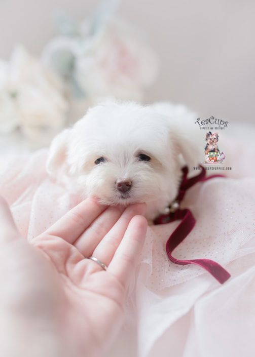Maltese Puppy For Sale Teacup Puppies 398 In 2020 Maltese Puppy