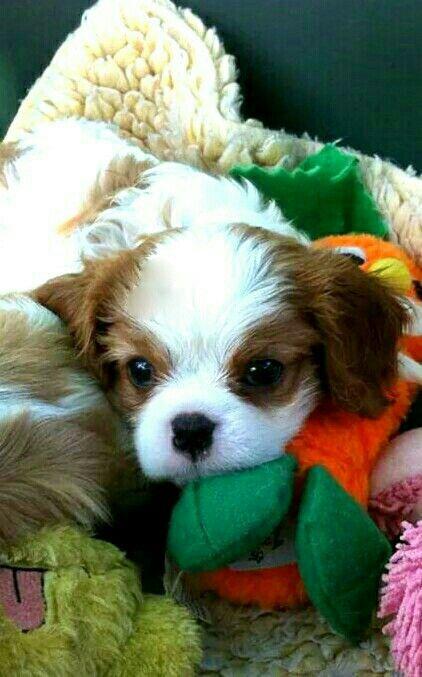 Blenheim Cavalier puppy