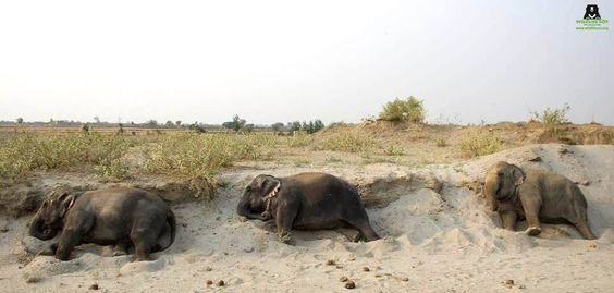 ‪#‎TheElephantTrain‬  Earlier this morning, our gang of girls Bijli, Chanchal and Laxmi went for a long morning walk and then decided to fall asleep one after the other on their way back to the ‪#‎ElephantConservationandCareCenter‬, Mathura.  Aren't they absolutely adorable?: