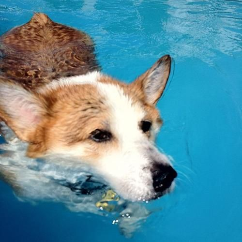 A pembroke welsh corgi swimming!