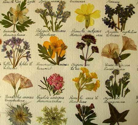 Srta. Moneypenny: Pressed Flower Art