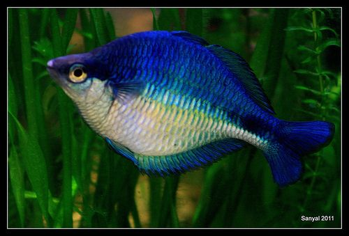 Rainbow fish rainbows and turquoise on pinterest for Turquoise rainbow fish