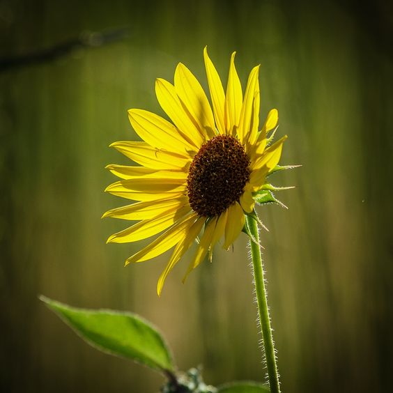 .: Little Sunflower :. by Jon Rista on 500px