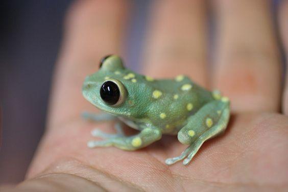 Leptopelis Uluguruensis ♥. Cute! Ruby eyes tree frog found in Tanzania!                                                                                                                                                     Más