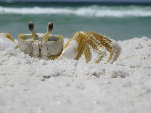 sand crabs... if you are sunbathing and feel something ...