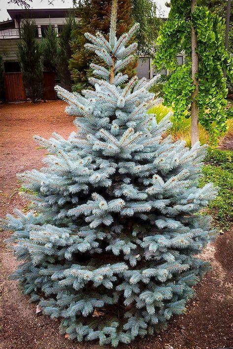 Baby Blue Spruce Blue Spruce Tree Colorado Blue Spruce Blue Spruce