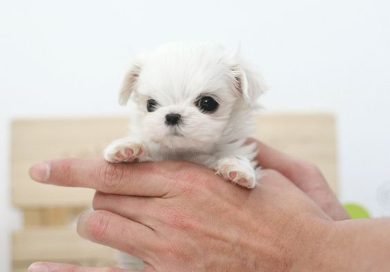 This is my future dog. Mini Maltese lovin
