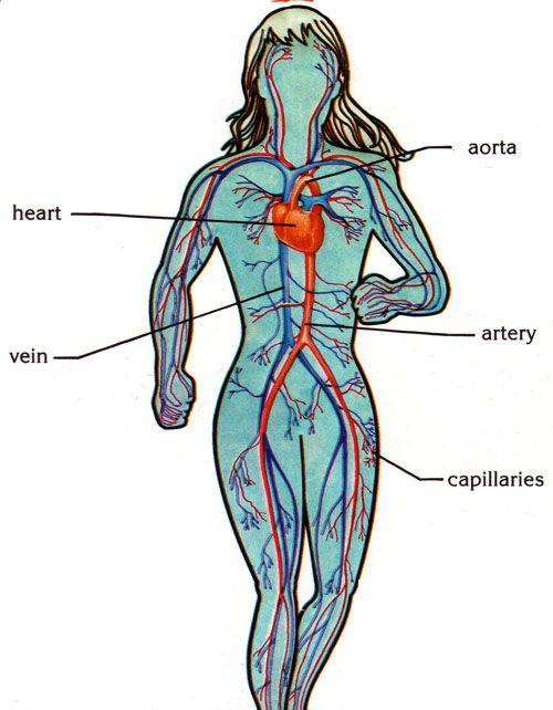 Lively English class: Circulatory system
