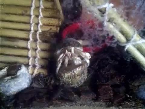 Así cambia de de casa un cangrejo ermitaño