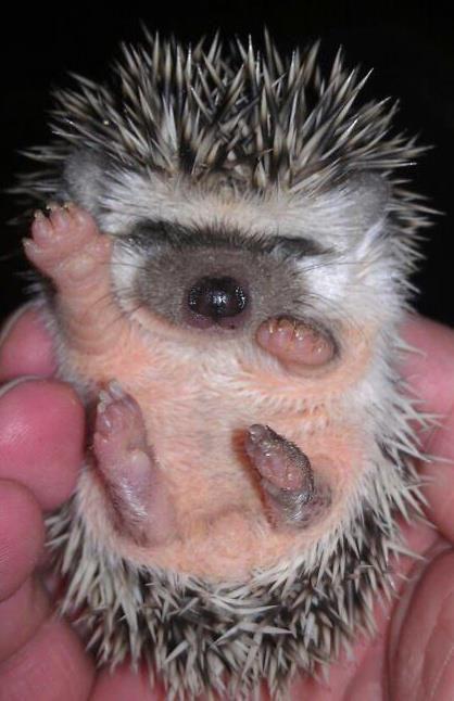 hedgehog hello from Seashore Hedgies, Virginia Beach Va