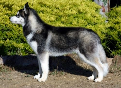 Difference Between A Alaskan Husky And Siberian 1001doggy Com