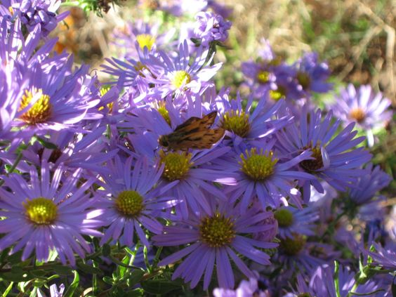 Fanny's Aster (7/11)
