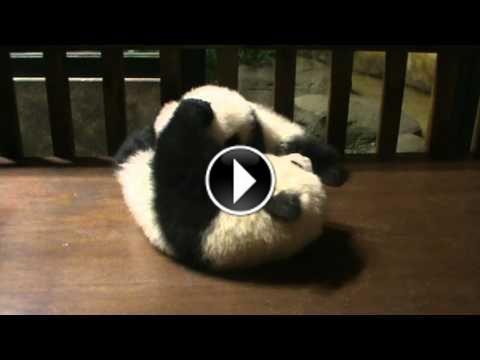 Deux bébés pandas jouent à la bagarre #panda #mignon #bébé http://www.minion.fr/deux-bebes-pandas-jouent-a-la-bagarre/150/